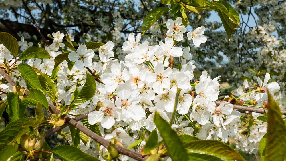 Obstbaumbaumblüte